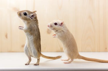 Two pet gerbils standing at attention