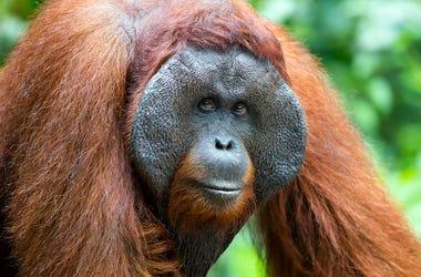 Orangutan, Male, Primate