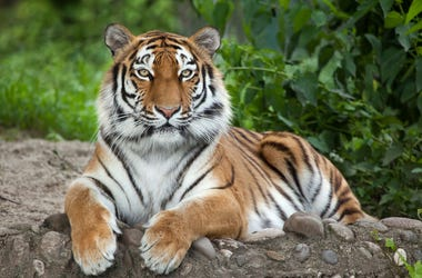 Tiger sits on rock with grass behind him