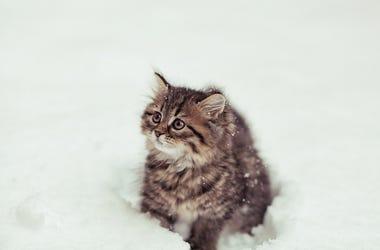 Kitten, Cat, Snow, Fluffy, Siberian cat