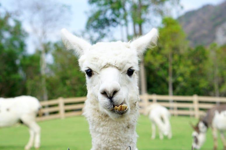 Llama, Alpaca, Farm, Funny