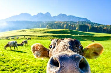 Funny Cow, Field, Mountain