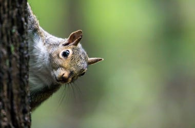 Squirrel, Eastern Gray Squirrel, Tree