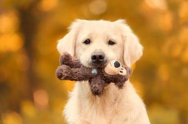Dog, Golden Retriever, Puppy, Toy