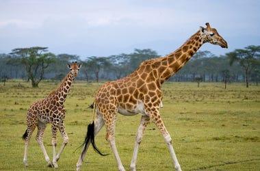 Female giraffe with a baby