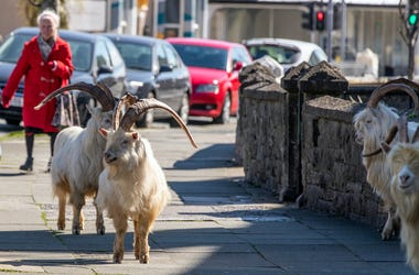 Mountain Goats, Trinity Square, Llandudno, north Wales, Town, 2020