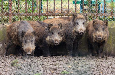 Boars, Swine, Hogs, Cage