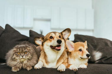 Dogs, Cat, Corgis, British Longhair, Couch