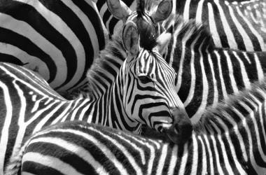 Zebra, Dazzle of Zebras, Kenya
