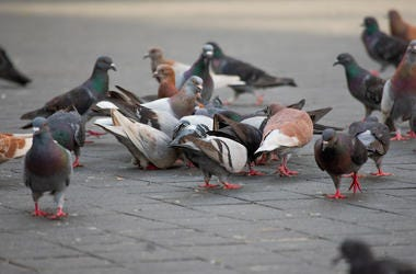 Pigeons, Town Square