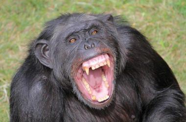 Angry Chimpanzee, Chimp, Teeth, Grass, Screaming
