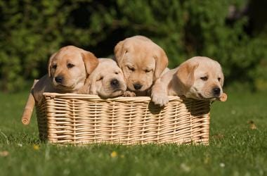 four cute labrador retriever puppys are sitting in a braided basket. One is tired the other wants out