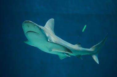 Sandbar Shark, Swimming, Underwater