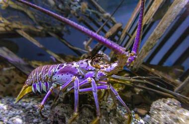 Purple Lobster, Lobster, Tank, Aquarium, Water