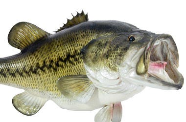Bass Fish, Mouth Open, White Background