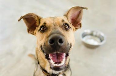 Dog, Smiling, Bowl, German Shepherd