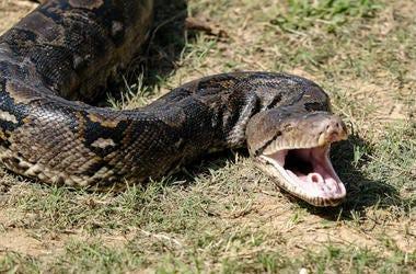 Snake, Bite, Strike, Grass, King Cobra