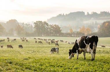 Cows, Ranch, Steer, Holstein Cows