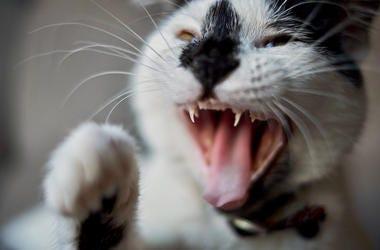 Cat, Attack, Bite, Teeth