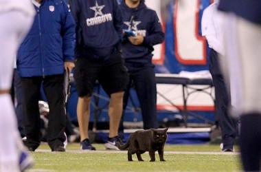 Dallas Cowboys, New York Giants, MetLife Stadium, Field, Black Cat, Kitten, 2019
