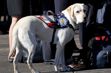 George Bush, Sully, Service Dog, Service Members, Yellow Labrador Retriever