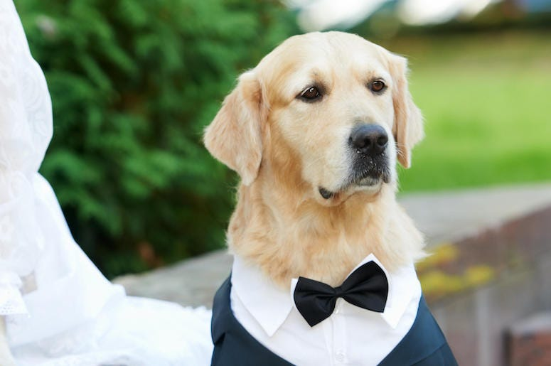 Golden Retriever, Dog, Tuxedo, Good Boy