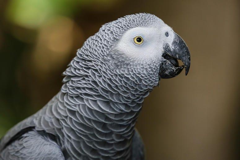 African Gray Parrot, Bird