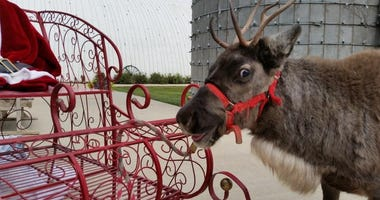 Happy reindeer at Fulton Valley Farms in Towanda, Kansas