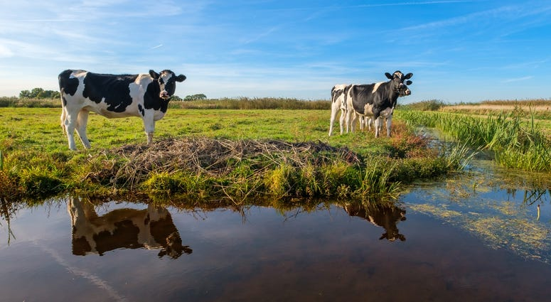 Two cows stand next to a small pond in a pasture