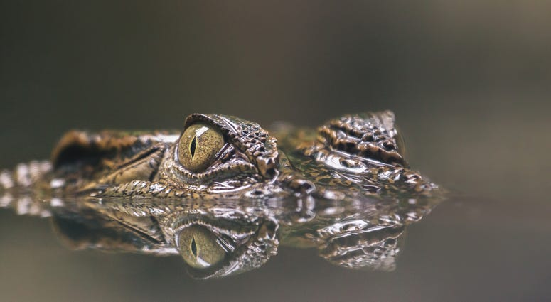 An alligators eyes seen just above the water line