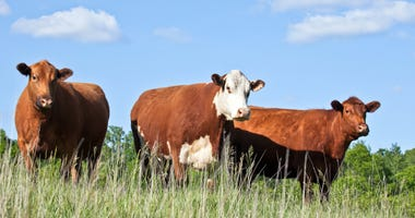 Cattle, two red angus and a hereford, stand in a grassy field.