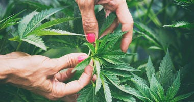 Close-up of two hands holding a leafy hemp plant.