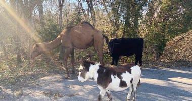 Camel, cow, donkey found roaming together along Kansas road