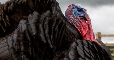 Image of a tom turkey