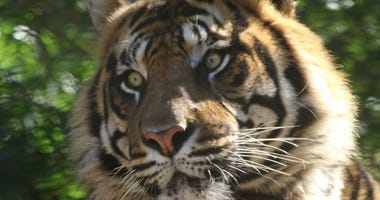 A sumatran tiger at the Kansas City Zoo