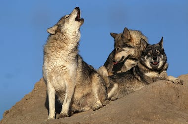 wolf howling, go outside at howl at 8, how to show solidarity for healthcare workers during COVID-19, people cheer on health care workers during coronavirus