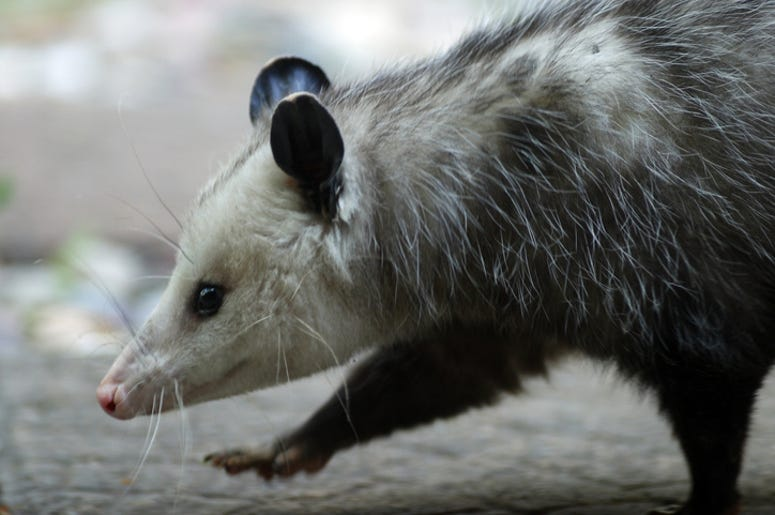Woman Publicly Shames Applebee's After Spotting a Baby Possum Behind the Bar