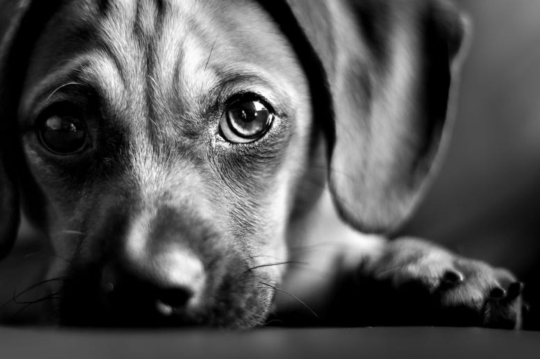 "Scientists Have Figured Out Why Dogs Developed Their ""Sad Puppy"" Eyes"