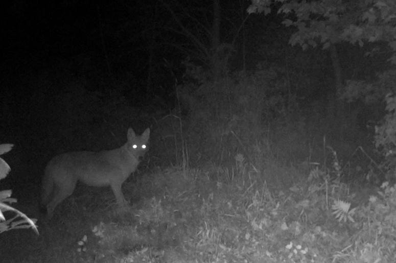 what to do if you see a coyote in your yard, coyotes, New Hope Police Department