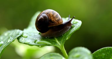 Photo taken on May 23, 2017 shows a snail creeps in the rain