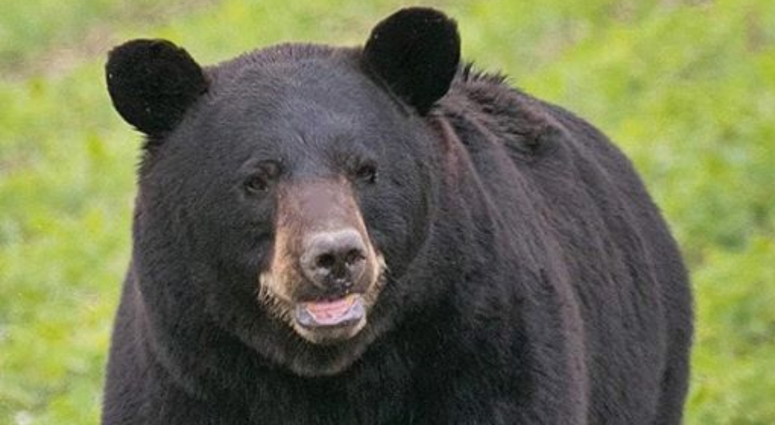 Bear sighting in Missouri