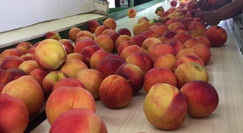 Bader Peach Farms