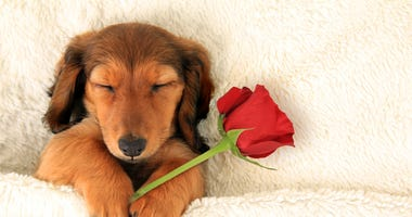 Longhair dachshund puppy holding a Valentine rose asleep on a bed.