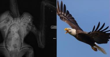bald eagle, xray