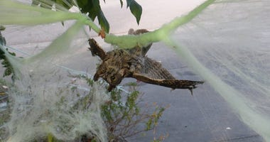 owl stuck in Halloween cobwebs