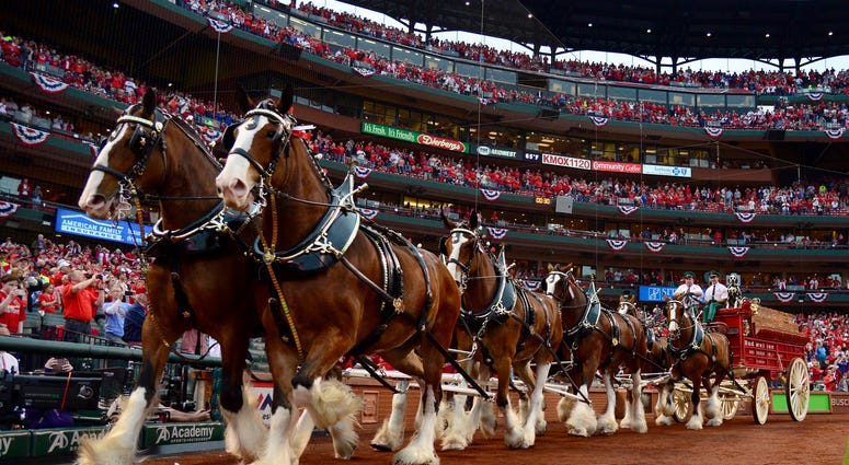 The Anheuser Busch Clydesdales run on the warning track