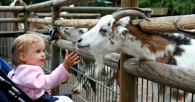 Little baby and goats. Zoo. Nuremberg.