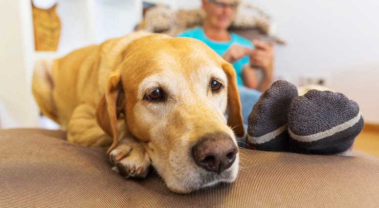 Labrador retriever lies on a seating furniture while a mature woman is phoning in the background