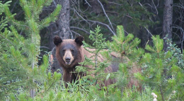 The American black bear (Ursus americanus) is a medium-sized bear native to North America. It is the continent's smallest and most widely distributed bear species.