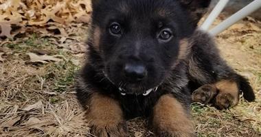 police dog puppy